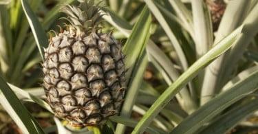 Ananás dos Açores vai chegar às lojas em novos formatos em 2018