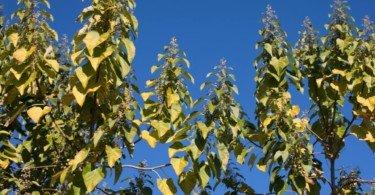 Paulownia-a-árvore-do-futuro