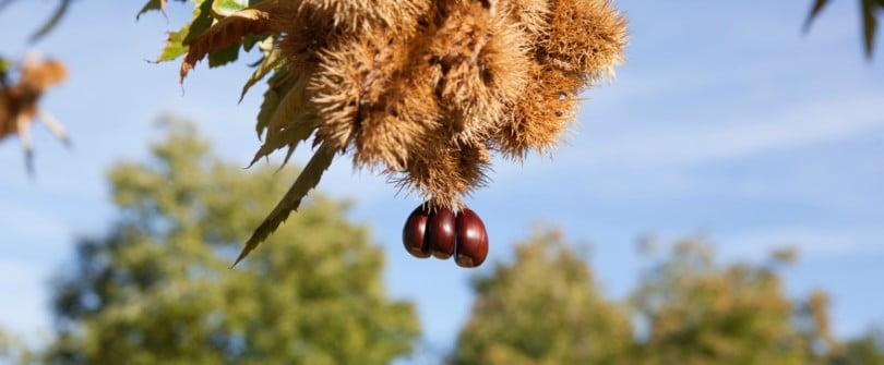 Única solução contra a vespa da galha do castanheiro pode ser outro inseto