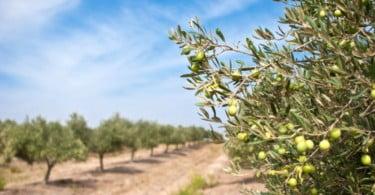 Olivum atinge os 400 milhões de kg de azeitona produzidos