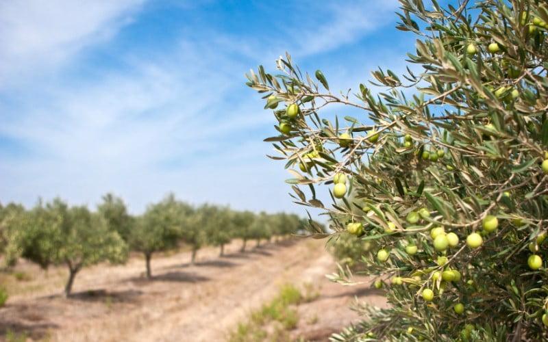"""Ministro da Agricultura esclarece que instalação de olival com investimento privado em Alqueva """"não está proibida"""""""