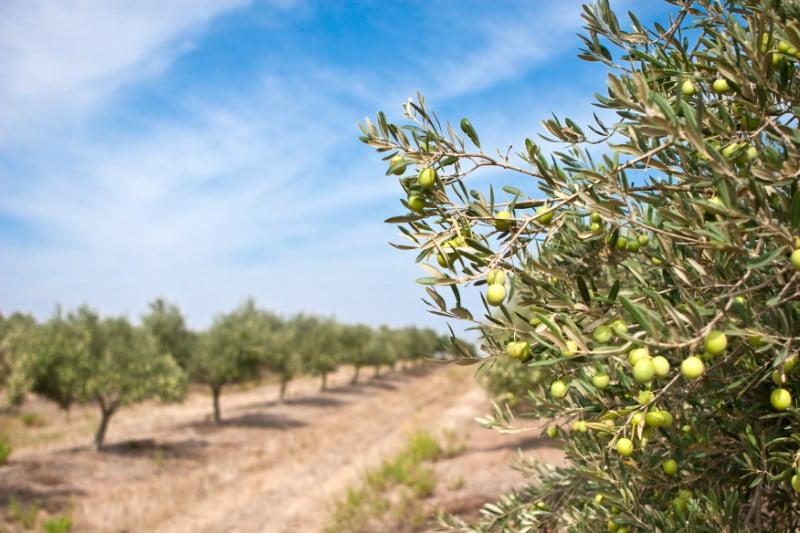 Sustentabilidade e eficiência do olival e do azeite em Alqueva discutem-se esta semana