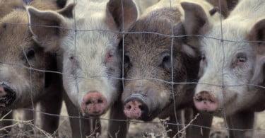 Inspetores veterinários da DGAV voltam a fazer greve
