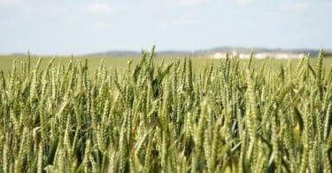 PDR 2020: abertas candidaturas ao investimento nas explorações agrícolas no setor da cerealicultura