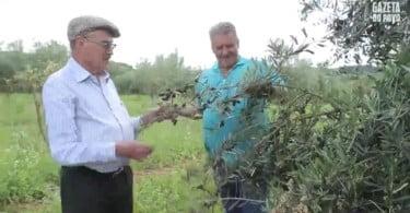 Imigrante-português-aposta-na-produção-local-de-azeite-de-oliva-extravirgem