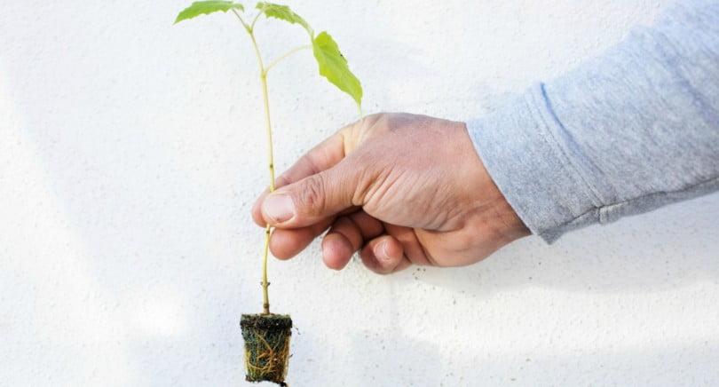 Paulownia: uma boa alternativa para a nossa floresta?