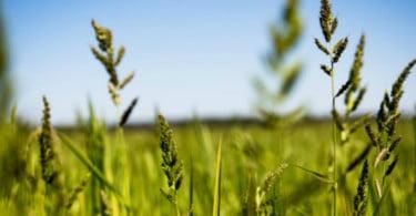 30% da produção nacional de arroz pode estar em risco