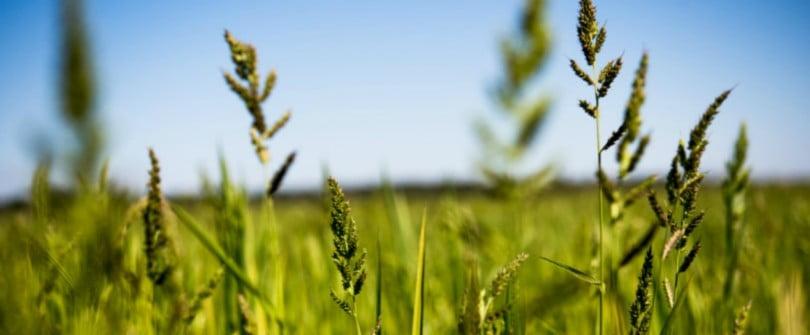 Baixo Mondego cultiva arroz com menos semente certificada por hectare