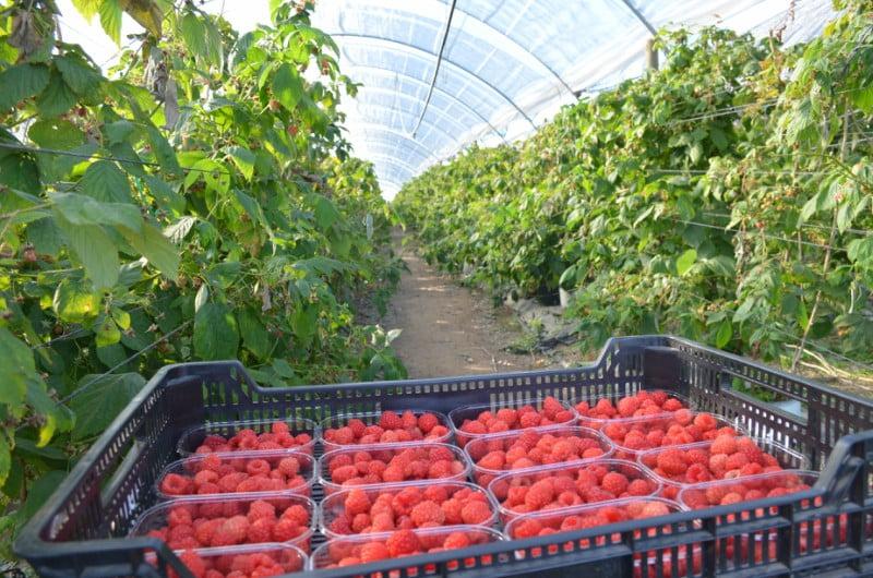 Frutos Vermelhos: sempre a crescer!