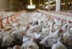 Comissão Europeia aprova 32 M€ em apoios para produtores afetados pela gripe aviária