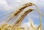 Cereais deverão ter a pior campanha dos últimos 100 anos, diz o INE