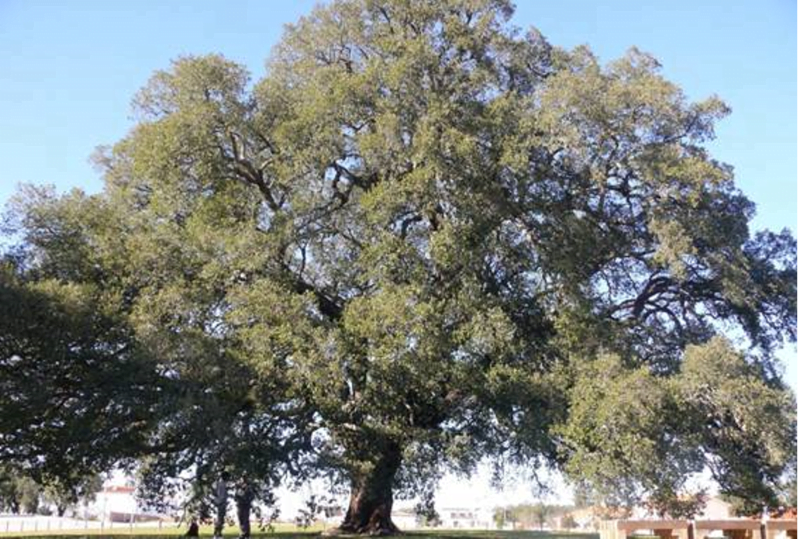 Sobreiro Assobiador eleito árvore do ano 2018