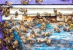 Parlamento Europeu pede medidas para proteger as abelhas