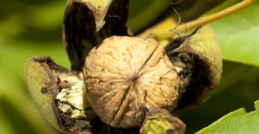 Fungicida Cuprocol da Syngenta autorizado para controlo da antracnose e da bacteriose em nogueira