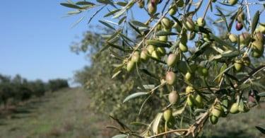 Última campanha de produção de azeite ultrapassa a 120 mil toneladas