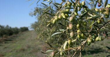 Universidade de Évora quer tornar olival mais resistente às alterações climáticas