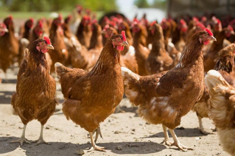 """Criada Associação Portuguesa de Ciência Avícola para promover """"conhecimento avícola"""""""