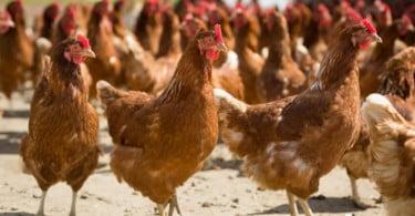 Nestlé reforça compromisso com o bem-estar de galinhas utilizadas na produção alimentar