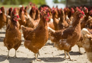 Brasil suspende venda de frango à UE