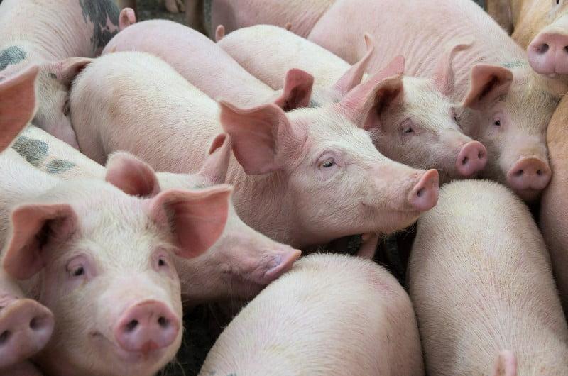 DGAV autoriza habilitação de estabelecimentos que pretendam exportar porco para China