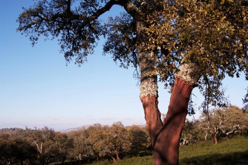 Corticeira Amorim quer 50 mil hectares de sobreiro regado