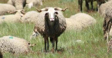 Criadores de ovelhas Serra da Estrela recebem animais para repor animais perdidos nos incêndios