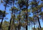 Pinhal de Leiria: mais de 1000 hectares já foram rearborizados