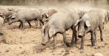 UE anuncia novas zonas de risco elevado de Peste Suína Africana