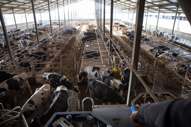 A maior exploração de vacas com robots de ordenha do Sul da Europa
