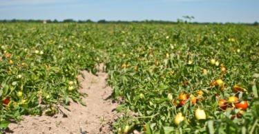 Superfície plantada de tomate de indústria desce para mínimos de 2013