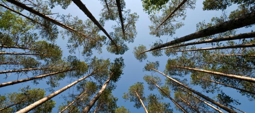 Queda do pinheiro-bravo impulsiona aumento de área de eucalipto