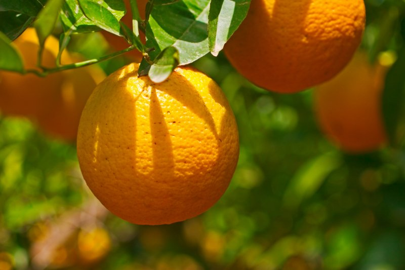 PDR 2020 disponibiliza apoios para ajudar a combater insetos vetores do Citrus Greening