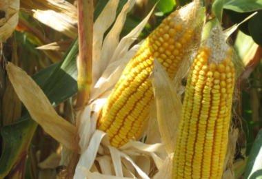 Aumenta a procura de milho grão