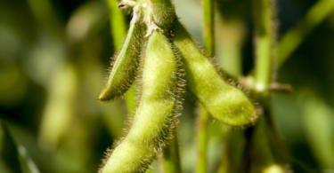 EUA plantam mais soja do que milho, pela primeira vez em 35 anos