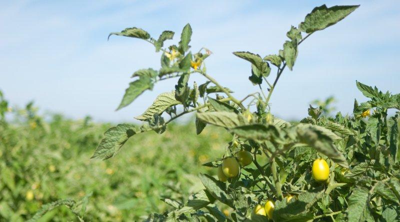 Produção de tomate de indústria cai na UE impulsionada pelo mercado ibérico