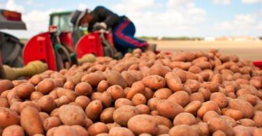 Produção de batata cai no primeiro semestre