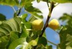 Recuperar o figo e definir boas práticas: conheça o GoFigo