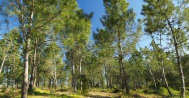 Área de pinheiro-bravo nacional diminuiu 1 milhão de hectares em 20 anos