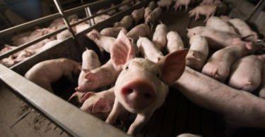 Coreia do Sul vai passar a receber carne de suíno portuguesa