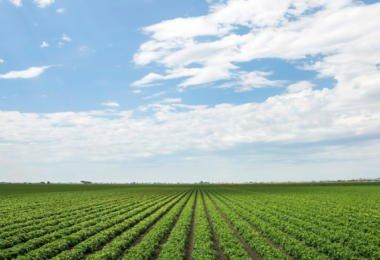 Como adaptar o tomate de indústria à instabilidade climática