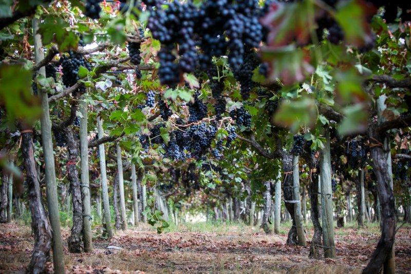 Lusovini investe meio milhão para produzir uva de mesa em Angola