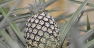 """Açores querem potenciar a fruticultura em ilhas """"menos vocacionadas para produção de leite e de carne"""""""