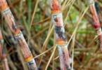 Apoios do POSEI à cana de açúcar dos Açores podem ser revistos em 2020