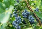 Folha de mirtilo tem potencial terapêutico para a Esclerosa Múltipla