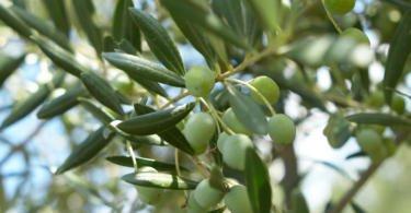 Universidade de Aveiro cria método de extração sustentável do ácido oleanólico