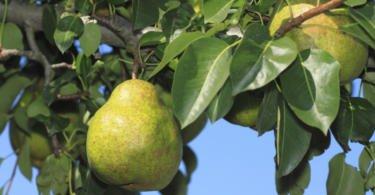 Produtividade da pera deverá cair cerca de 10%