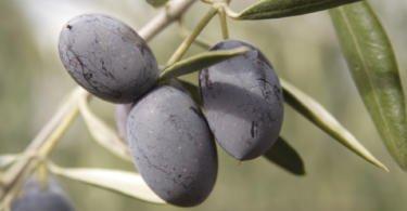 Cultivares de Oliveira: Cordovil de Elvas