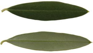 Cultivares de Oliveira: Cordovil de Serpa