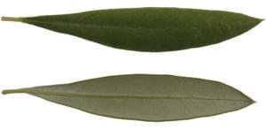 Cultivares de Oliveira: Cordovil de Castelo Branco