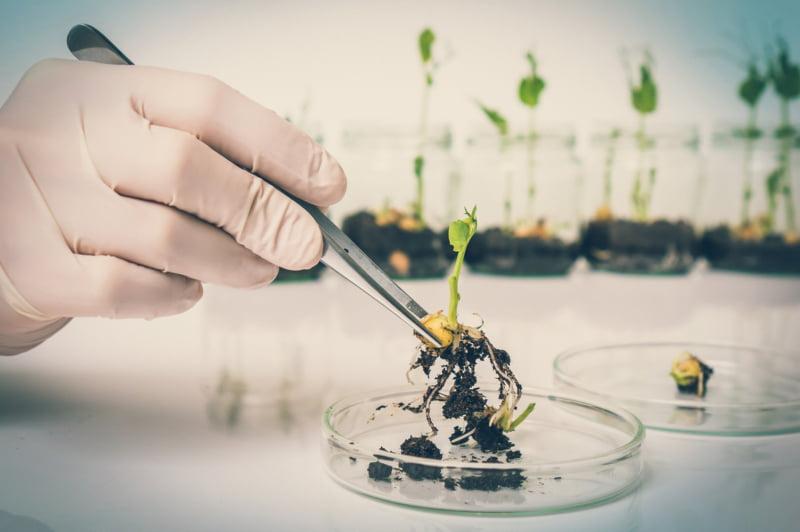 Alimentos geneticamente modificados - seguros ou não?